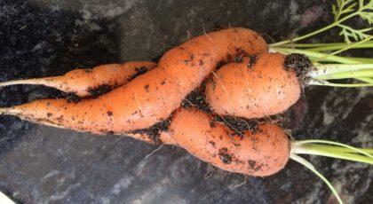 carrots-1987263_1280